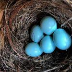 bluebird nest 5 eggs