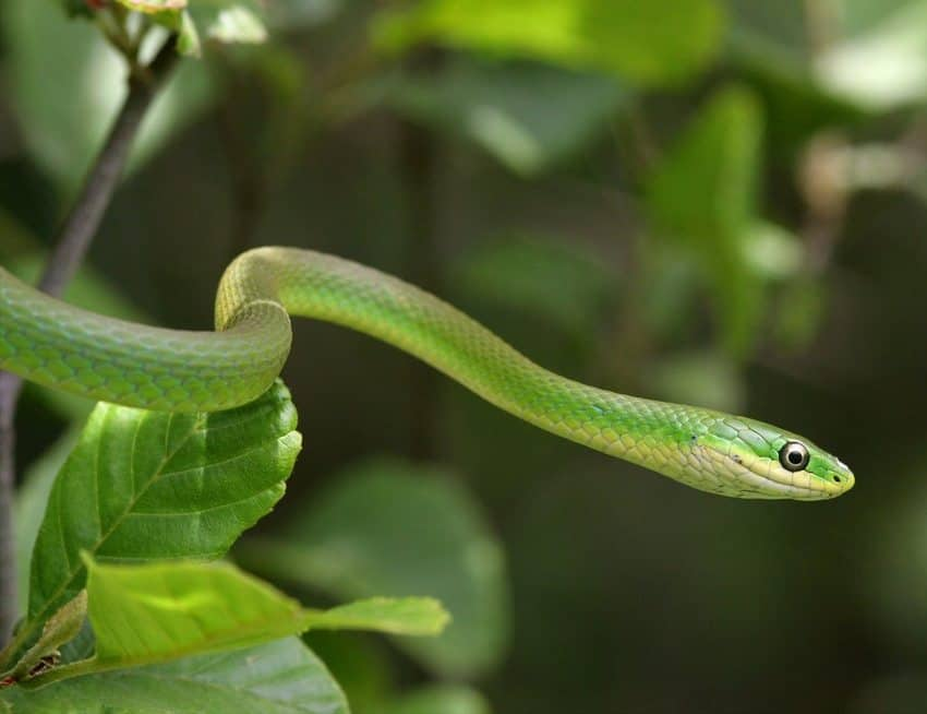 rough_green_snake