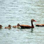 black bellied whistling duck family web
