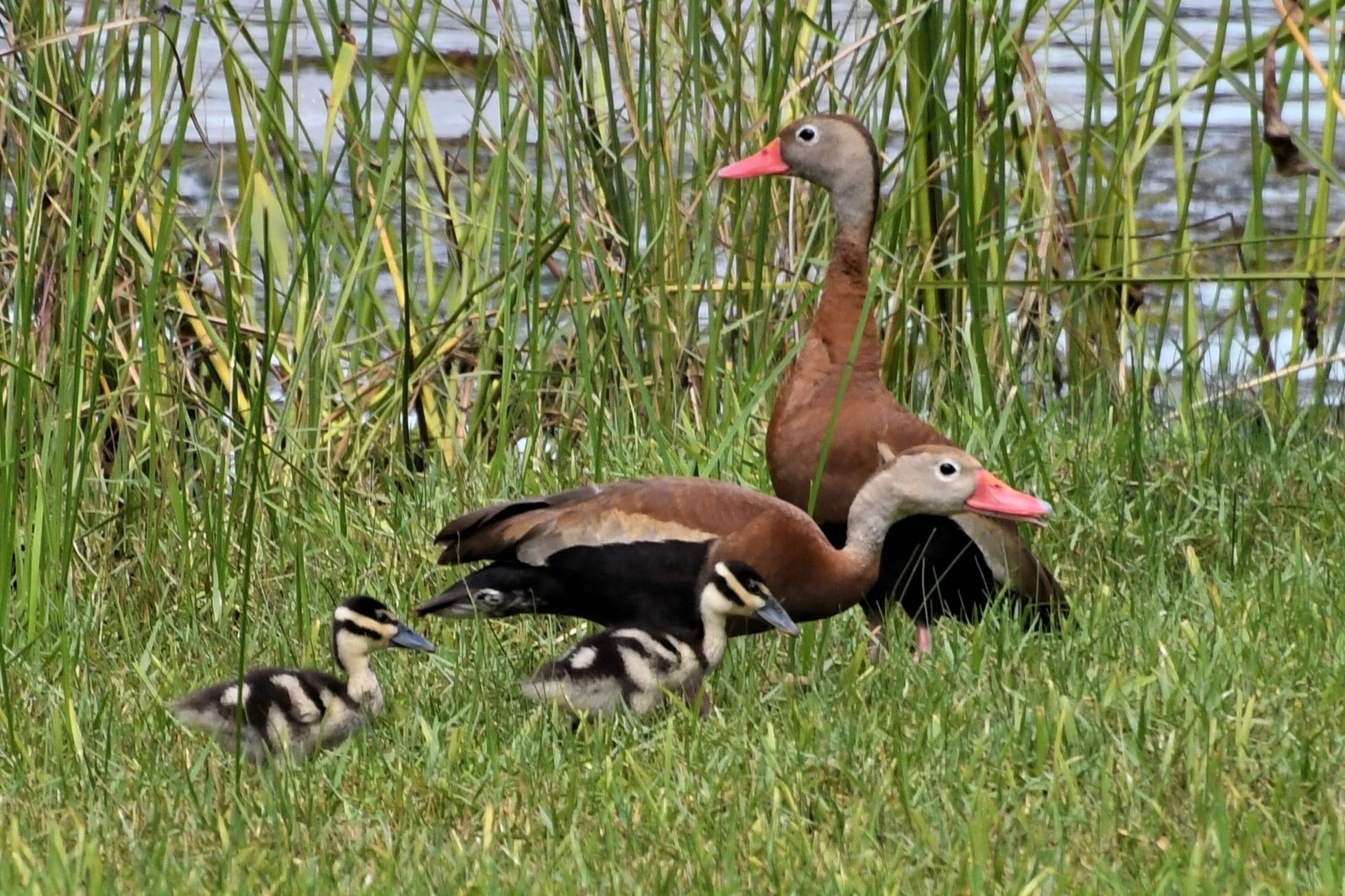 Black-bellied Whistling Ducks with Chicks Keith Windham (cropped)