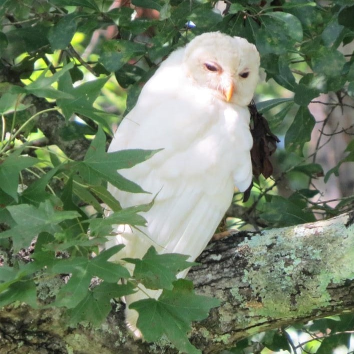 White Owl in Escatawpa (Brian Johnston)
